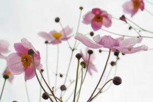 filigrane-anemonen-bluehen